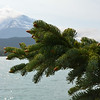 Spruce buds, Chugach National Forest, Kenai Peninsula, Alaska