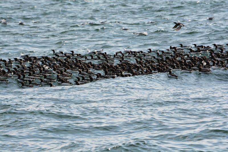 A Raft of Common Murres Near Gull Island, Kachemak Bay, Alaska