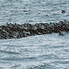 A Raft of Common Murres Near Gull Island, Kachemak Bay, Alaska