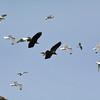 Eagles visit Gull Island, Kachemak Bay, Alaska