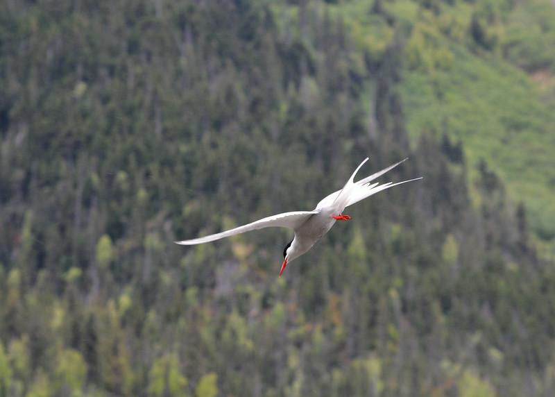 Arctic Tern Diving, Tern Lake, Kenai Peninsula, Alaska