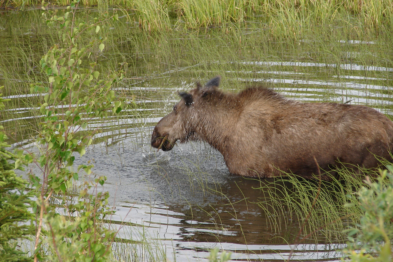 Cow moose shakes water from her head after munching on underwater plants.