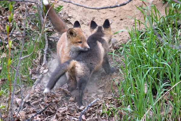_MG_5817 red fox kits