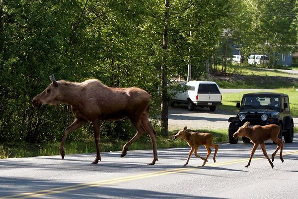 Moose Family Crossing