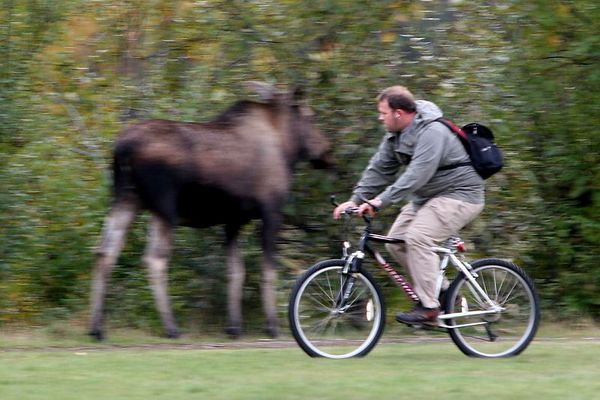 Moose in Path