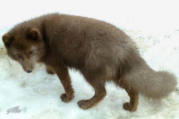 Sly Arctic Fox