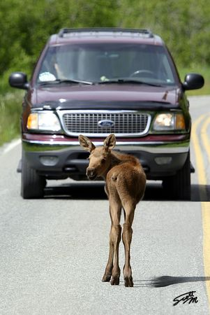 Young Moose on the Loose