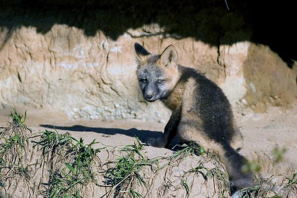 _MG_5940 red fox kit 2
