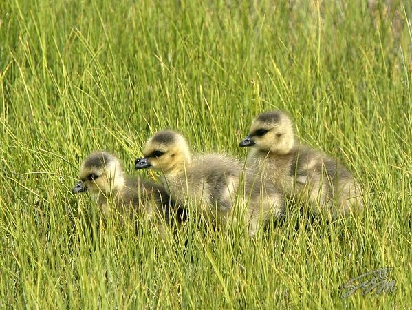 Canada Geese #15