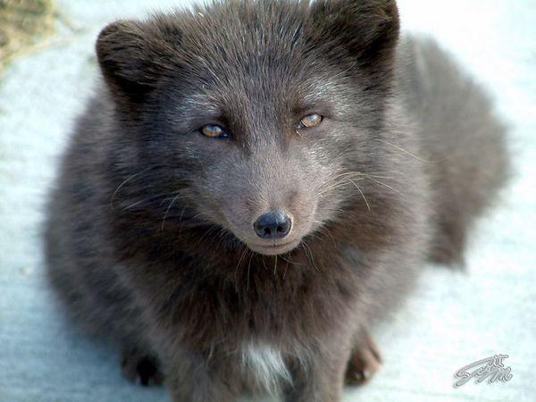 Arctic Fox, Shemya Island (2002.11.16 75)