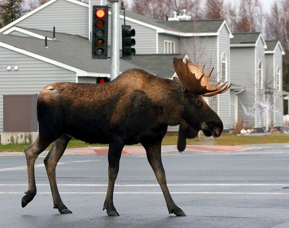 Red Light Moose - This image was selected for Honorable Mention in the 2005 Fur Rendezvous Photo Competition, Color Wildlife Division