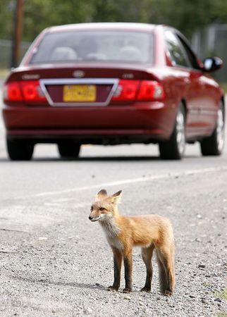 2005 08 05 Roadside Red Fox 11x14
