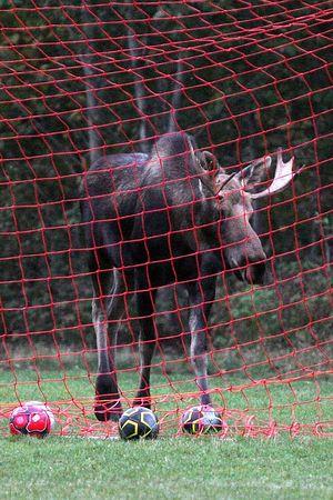 Soccer Moose