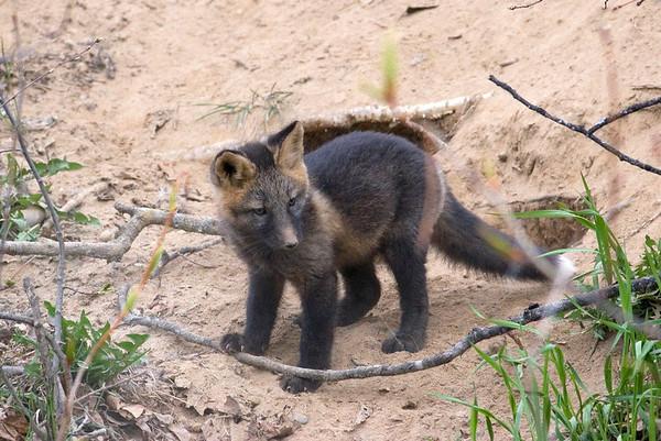 _MG_5822 red fox kit