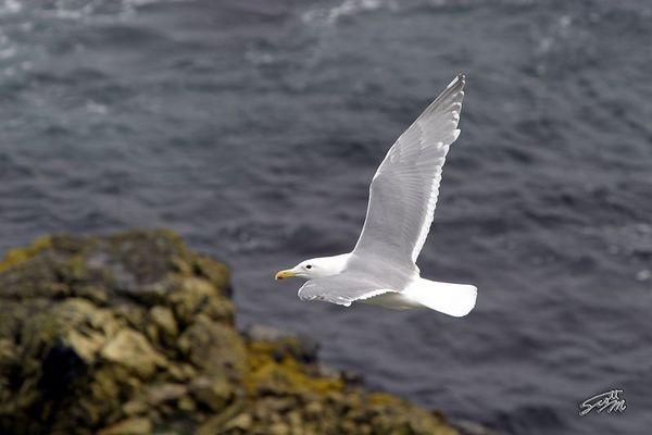 Gull Passing Below