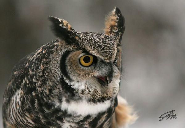 Alaskan Horned Owl
