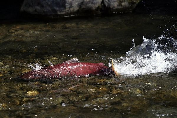 Salmon #45