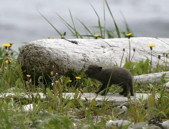 Scruffy Kit Howl, Shemya Island
