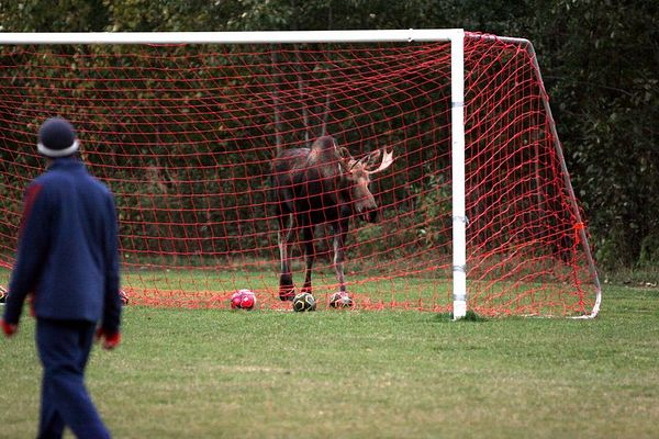 Soccer Moose 1