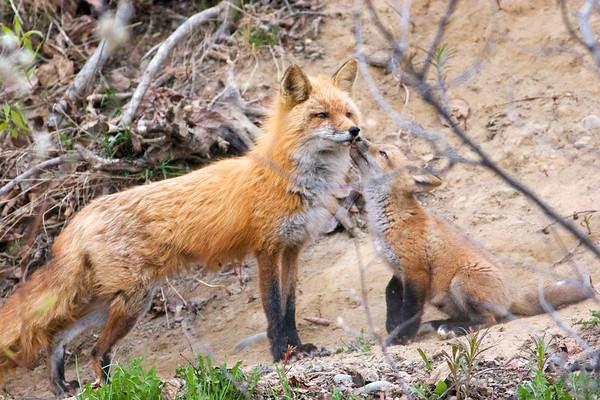 _MG_5832 red fox kiss