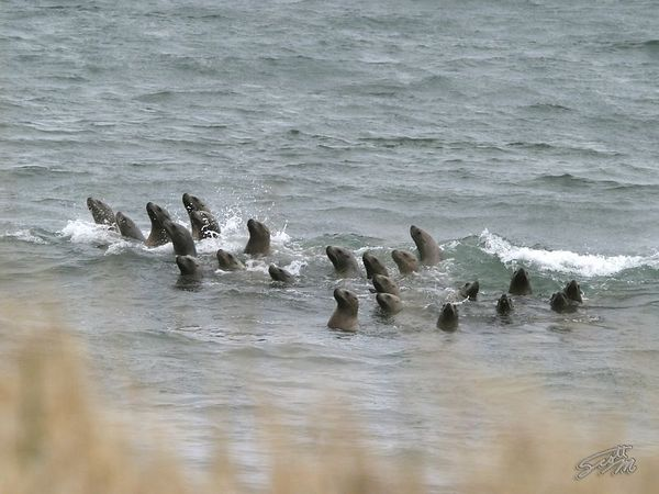 Sea Lions in the Surf 2