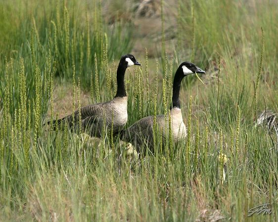 Canada Geese #4
