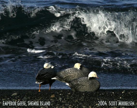 Emperor Geese on Beach, Shemya Island - This image was selected for display in the 2004 Fur Rendezvous Photo Competition