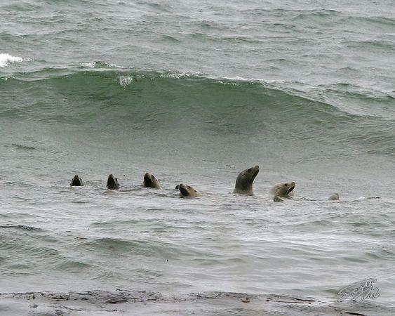 Shemya Island Sea Lions