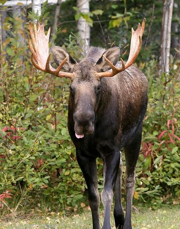 Moose Tongue - This image was selected for display in the 2005 Fur Rendezvous Photo Competition