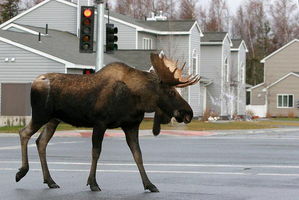 2004 10 21 004 Red-Light Moose 8x12
