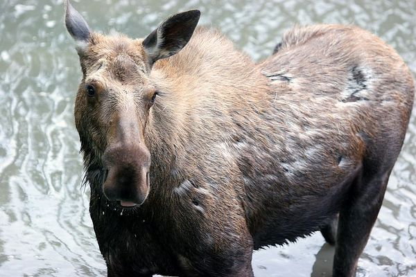 Moose Standing in Eagle River