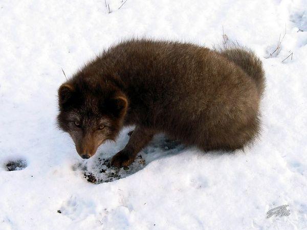 Scruffy in Snow