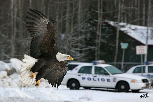 Stop in the Name of the Law - This photo won 2nd Place in the 2005 Anchorage Fur Rendezvous Photo Competition, Color Wildlife Division