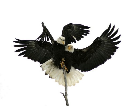 Embracing Eagles - This image won 3rd Place in the 2004 Alaska State Fair, Color Wildlife (Professional) Division