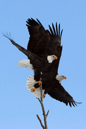 Top Eagles