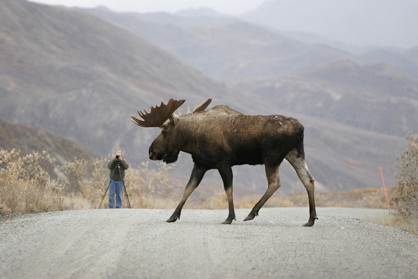 _MG_1715a<br /> A bull moose glances at a photographer while crossing the road in Denali National Park.