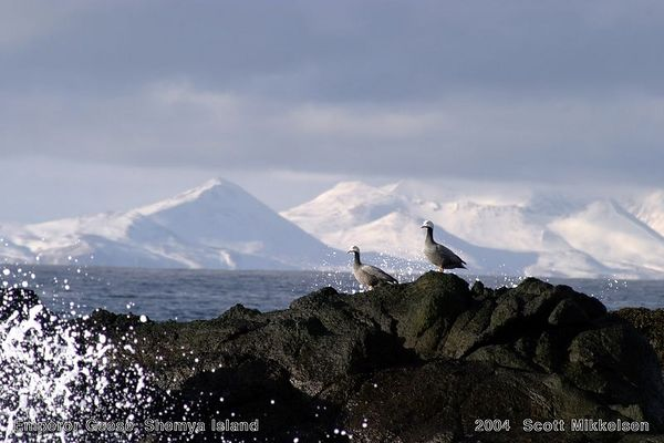 Emperor Geese (Agattu Island in background)