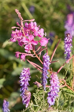 2007 07 19 0730 Fireweed (crop)