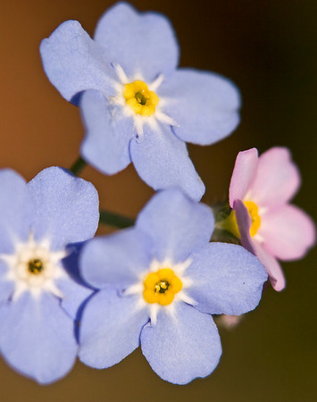 _MG_2528 Forget-Me-Nots (crop 11x14)