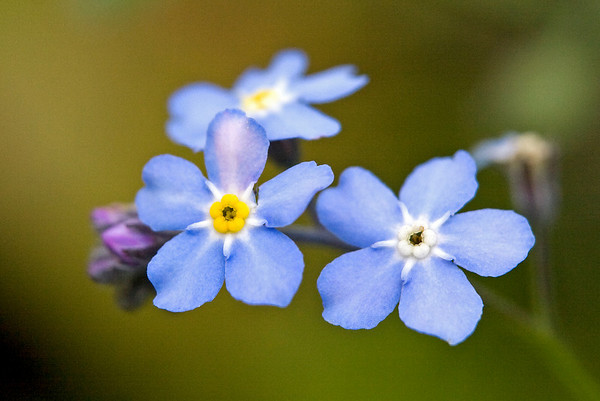 Forget-Me-Nots, the Alaska State Flower