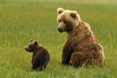 Brown Bear Mother & Cub