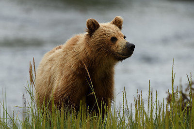 Brown Bear Youngster