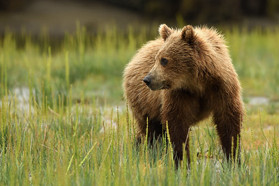 Brown Bear Cub Profile