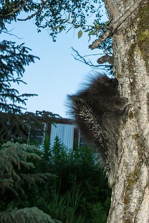 Killer porcupine