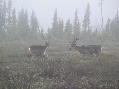 Caribou  - Kenai, Alaska