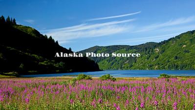 Alaska, Scenic view of fireweed wildflowers approaching Anton Larson Bay, Kodiak.