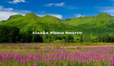 Alaska. Scenic of fireweed (epilobium angustifolium) wildflowers in front of the emerald mountains of Kodiak, as seen along the Pasagshak Bay Road.