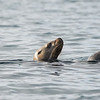 Stellar Sea Lion (Eumetopias jubatus)