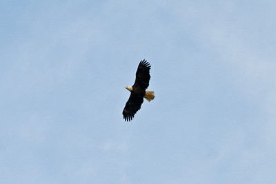 Another Bald Eagle flew near our ship before we got far away from the coast