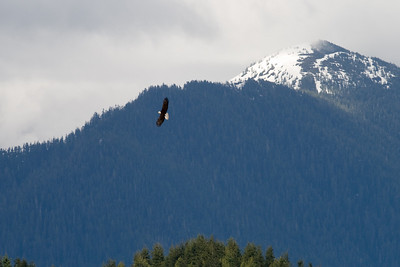 Bald Eagle in the distance